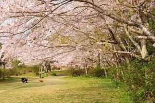 満開の桜の木下での写真・画像素材[3225404]