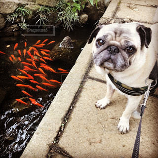 パグと金魚の写真・画像素材[733459]