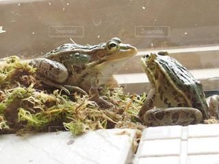 カエルの写真・画像素材[3187272]