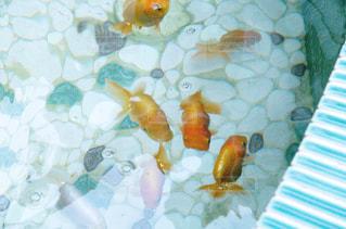 水面下を泳ぐ魚たちの写真・画像素材[899183]