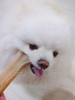 カメラを見ている小さな白い犬の写真・画像素材[3311307]