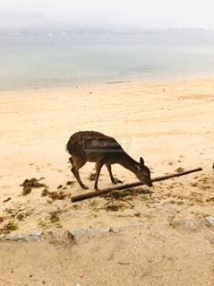 砂浜の上に立っている牛の群れの写真・画像素材[3182372]