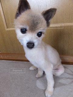 おねだり中のミックス犬の写真・画像素材[3182112]