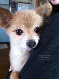 抱っこが大好きなミックス犬の写真・画像素材[3182759]