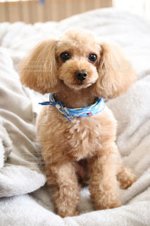ベッドに横たわる茶色と白の犬の写真・画像素材[3322283]