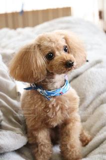 ベッドの上に座っている茶色と白の犬の写真・画像素材[3322285]