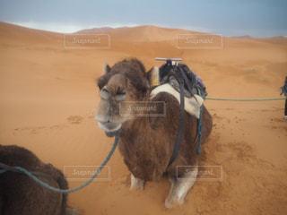 サハラ砂漠の友達の写真・画像素材[3188661]