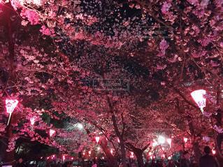 夜桜ピンクライトアップの写真・画像素材[3185139]