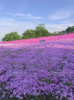 芝桜の写真・画像素材[3185637]
