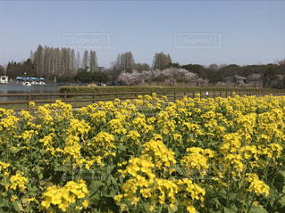 菜の花畑の写真・画像素材[3186866]