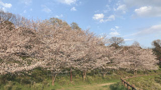 桜の写真・画像素材[3186961]