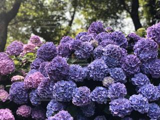 紫陽花の写真・画像素材[3188650]