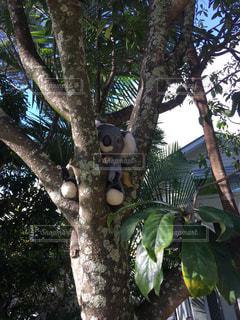 木の枝に座っているコアラの写真・画像素材[3223280]