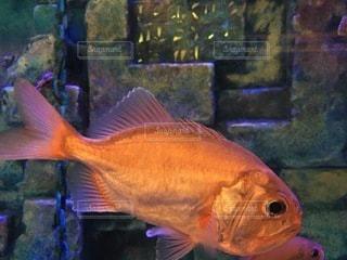 魚のクローズアップの写真・画像素材[3396148]