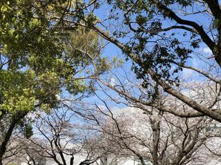 大きな木の写真・画像素材[3254748]