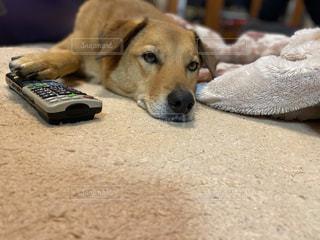 リモコンを独占する犬の写真・画像素材[3207317]