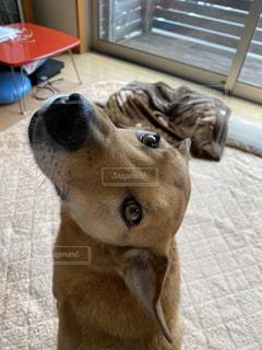 カメラを見ている犬の写真・画像素材[3207336]