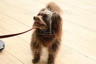 床に座っている犬の写真・画像素材[3423555]
