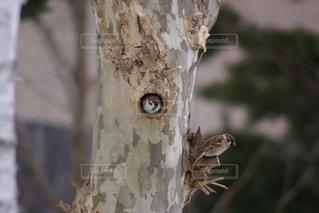 木に開いた穴に住むスズメの写真・画像素材[3202251]