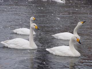 雪の降る中 川を泳ぐ白鳥の写真・画像素材[3202281]