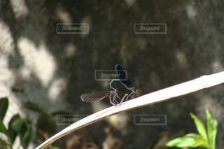 水辺の草の上で交尾するハグロトンボの写真・画像素材[3202385]