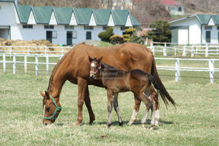 日高の親子の馬の写真・画像素材[3208148]