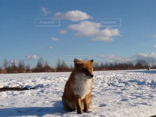雪の中のキタキツネの写真・画像素材[3208175]