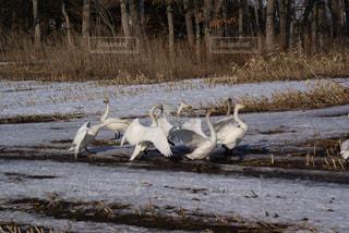 畑の中の白鳥の群れの写真・画像素材[3208210]