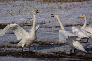 畑の中の白鳥の写真・画像素材[3208198]