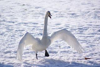 足つっちゃった白鳥の写真・画像素材[3208204]