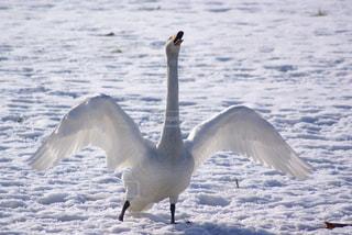 雪原でうがいをする白鳥の写真・画像素材[3208267]