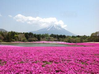 富士山と芝桜の写真・画像素材[3228867]