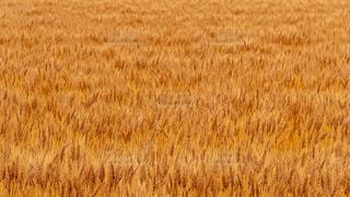 小麦畑の写真・画像素材[3224538]
