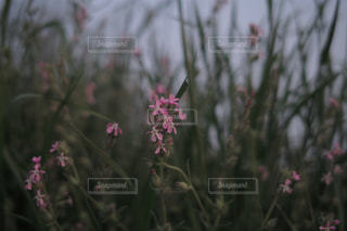 ピンクの小さな花の写真・画像素材[3208009]