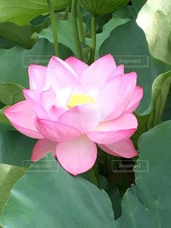 蓮の花の写真・画像素材[3204174]