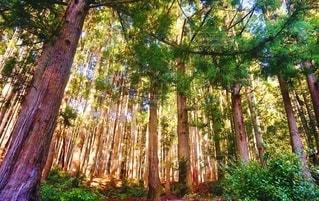 森の中の木の写真・画像素材[3330942]