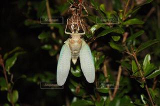 蝉の成長の写真・画像素材[3216898]