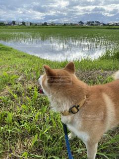 田園を見つめる愛犬の写真・画像素材[3425232]