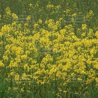 野原の黄色い花の写真・画像素材[3211205]