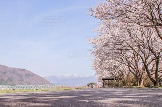 桜並木と橋と山の写真・画像素材[4433787]