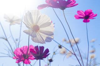 陽に透けるコスモスの写真・画像素材[4433790]