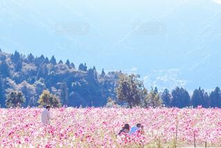 コスモス畑の写真・画像素材[4433802]