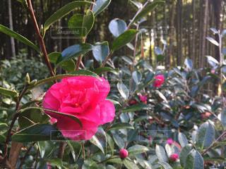 花の写真・画像素材[318439]