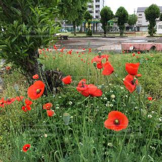 フィールドにオレンジ色の花のグループの写真・画像素材[1159111]