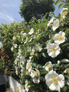 植物の花の花瓶の写真・画像素材[1159145]