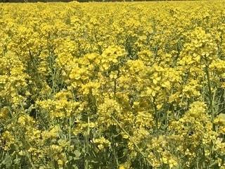 フィールド内の黄色の花の写真・画像素材[1159238]