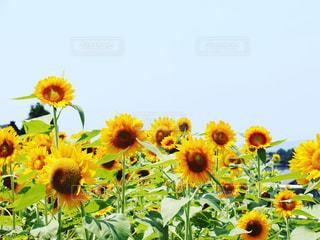 ひまわり畑の写真・画像素材[3221281]