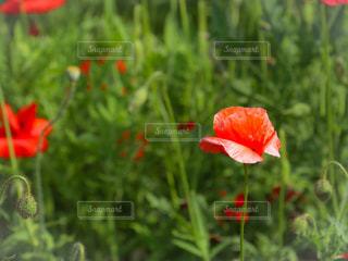 ポピーの花畑の写真・画像素材[3287812]