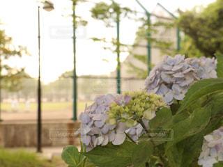 紫陽花とグランドの写真・画像素材[3310455]