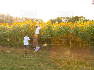 ひまわり畑の写真・画像素材[3598483]
